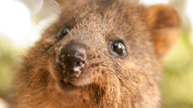Những bức ảnh tự sướng 'bá đạo' nhất của Quokka - Loài vật hạnh phúc nhất thế giới - anh 1