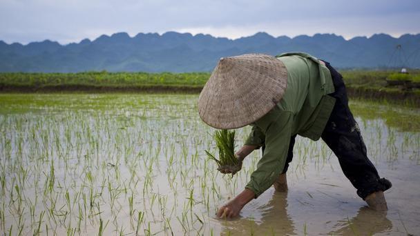 Nét đẹp của cánh đồng lúa Việt Nam trên trang báo nước ngoài - anh 1
