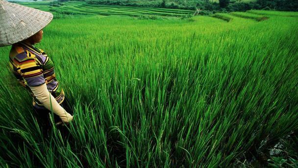 Nét đẹp của cánh đồng lúa Việt Nam trên trang báo nước ngoài - anh 2