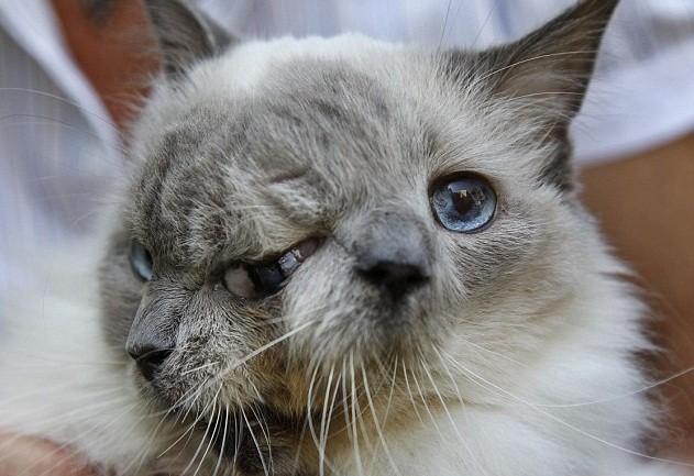 Chú mèo hai mặt lập kỷ lục Guinnes đã qua đời ở tuổi 15 - anh 1