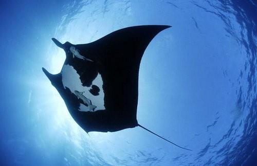 """Thế giới bí ẩn loài cá mệnh danh """"bóng ma của đại dương"""" - anh 3"""