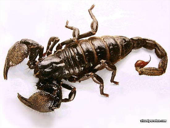 Bọ cạp phun độc Nam Phi - Loài bọ cạp đáng sợ nhất thế giới - anh 1