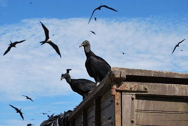 """Bí ẩn Kền Kền - Loài chim """"ăn xác thối vẫn thấy ngon"""" - anh 2"""