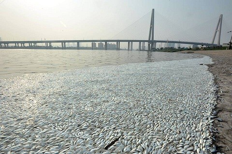 Cá chết nổi trắng mặt sông gần khu vực vụ nổ Thiên Tân - anh 2