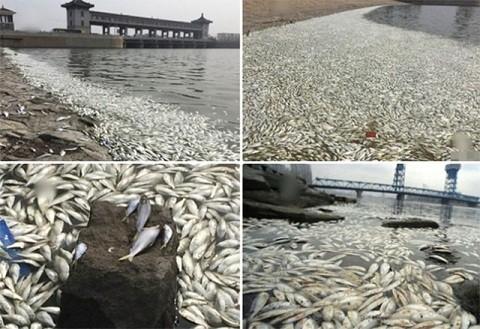 Cá chết nổi trắng mặt sông gần khu vực vụ nổ Thiên Tân - anh 5