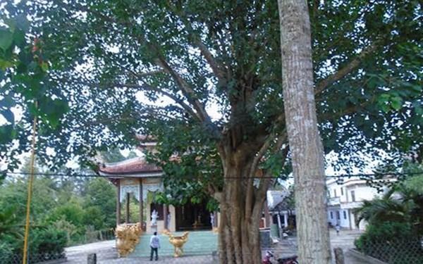 Xôn xao cây bồ đề ở Vĩnh Long, dù nhiều tiền cũng không thể mua - anh 1