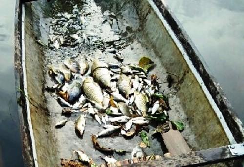 TT-Huế: Cá chết bất thường trên các sông ở Quảng Điền - ảnh 3
