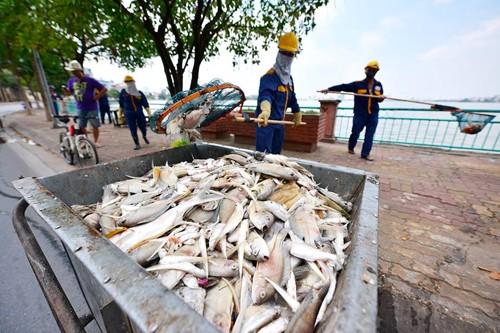 Hà Nội tìm nguyên nhân cá nổi trắng mặt hồ Tây - ảnh 2