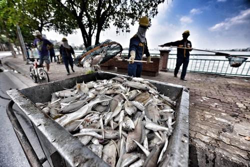UBND Hà Nội khuyến cáo người dân không ăn cá chết ở hồ Tây - ảnh 2