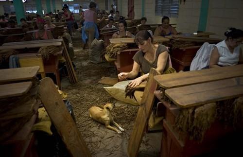 Quy trình sản xuất xì gà cầu kỳ ở Cuba - ảnh 9