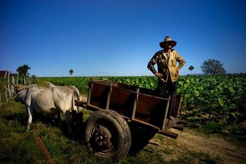 Quy trình sản xuất xì gà cầu kỳ ở Cuba - ảnh 12