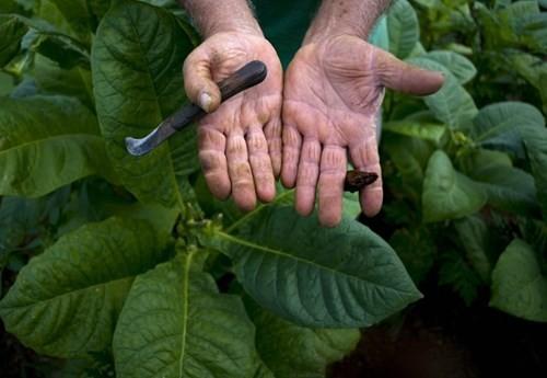 Quy trình sản xuất xì gà cầu kỳ ở Cuba - ảnh 2