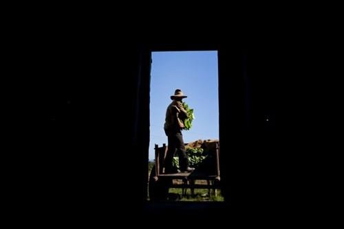 Quy trình sản xuất xì gà cầu kỳ ở Cuba - ảnh 5