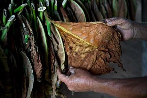 Quy trình sản xuất xì gà cầu kỳ ở Cuba - ảnh 7