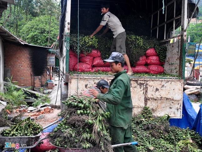Dân làng ồ ạt hái cau non bán sang Trung Quốc - ảnh 9