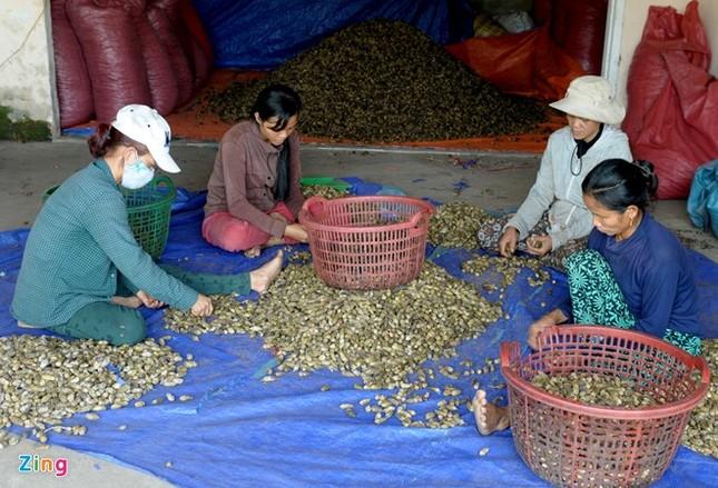 Dân làng ồ ạt hái cau non bán sang Trung Quốc - ảnh 13
