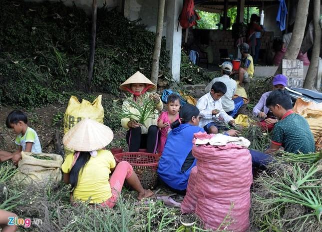 Dân làng ồ ạt hái cau non bán sang Trung Quốc - ảnh 4