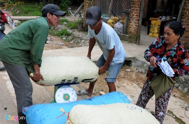 Dân làng ồ ạt hái cau non bán sang Trung Quốc - ảnh 8