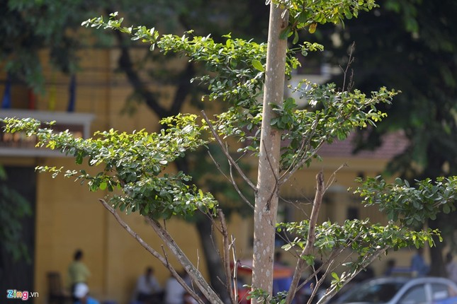 Hà Nội trồng cây dưới lưới điện 110 KV - ảnh 4