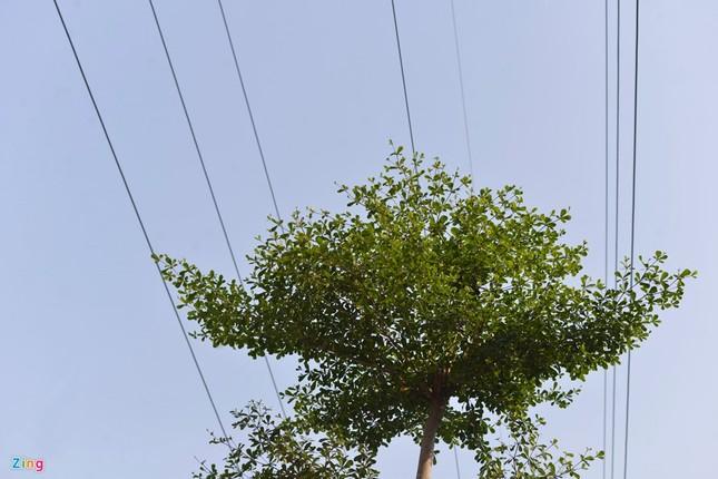 Hà Nội trồng cây dưới lưới điện 110 KV - ảnh 6