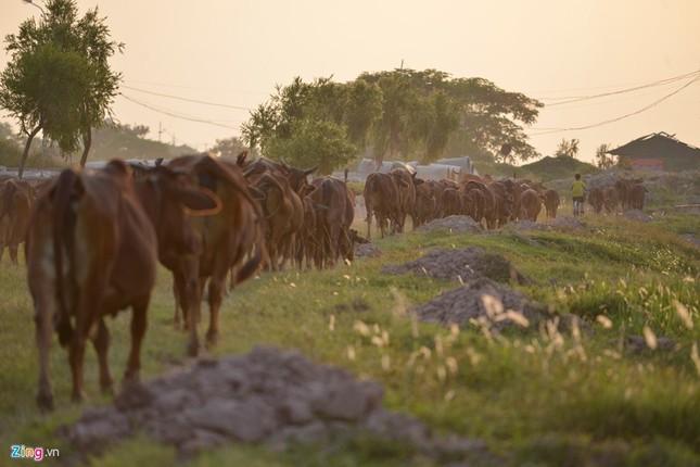 Khu sinh thái nghỉ dưỡng thành nơi chăn bò - ảnh 3