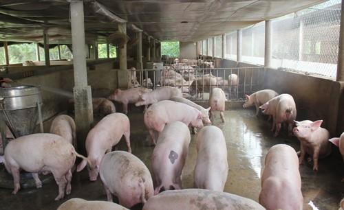 Chàng 'lái lợn' thành ông chủ trang trại - ảnh 1