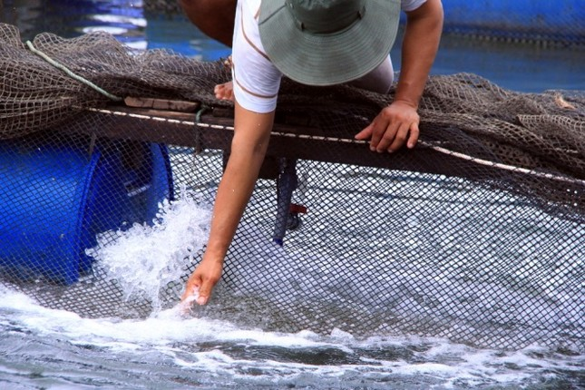 Người dân làng bè Vũng Tàu điêu đứng vì cá chết trắng - ảnh 3