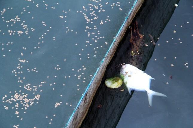 Người dân làng bè Vũng Tàu điêu đứng vì cá chết trắng - ảnh 2