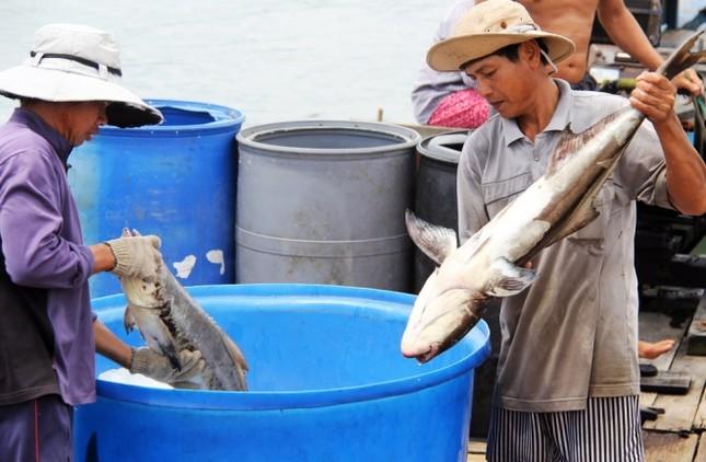 Người dân làng bè Vũng Tàu điêu đứng vì cá chết trắng - ảnh 7