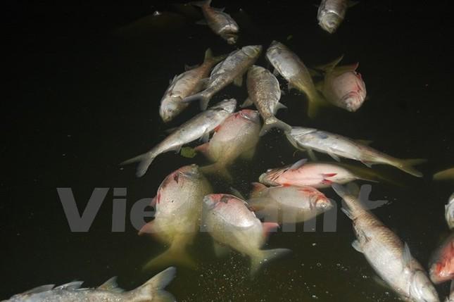 Cá chết dạt vào bờ dài cả km ở hồ Linh Đàm - ảnh 1