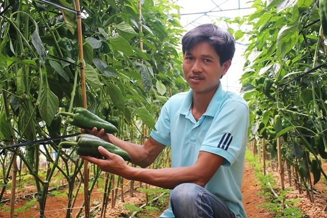 Ớt khổng lồ nửa kg một trái trồng không kịp bán - ảnh 1