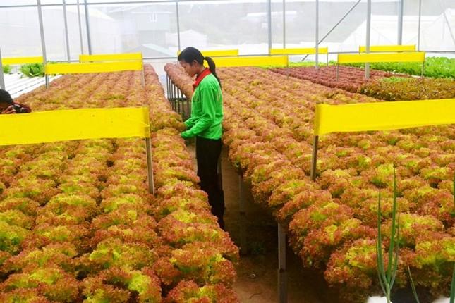 Rau thủy canh thu hoạch 15 vụ mỗi năm, ăn không cần rửa - ảnh 10