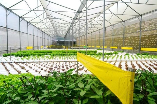 Rau thủy canh thu hoạch 15 vụ mỗi năm, ăn không cần rửa - ảnh 11