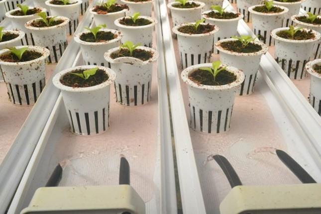 Rau thủy canh thu hoạch 15 vụ mỗi năm, ăn không cần rửa - ảnh 3