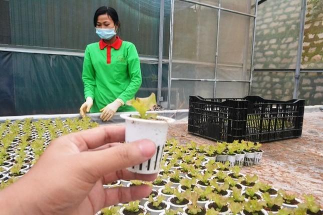 Rau thủy canh thu hoạch 15 vụ mỗi năm, ăn không cần rửa - ảnh 4