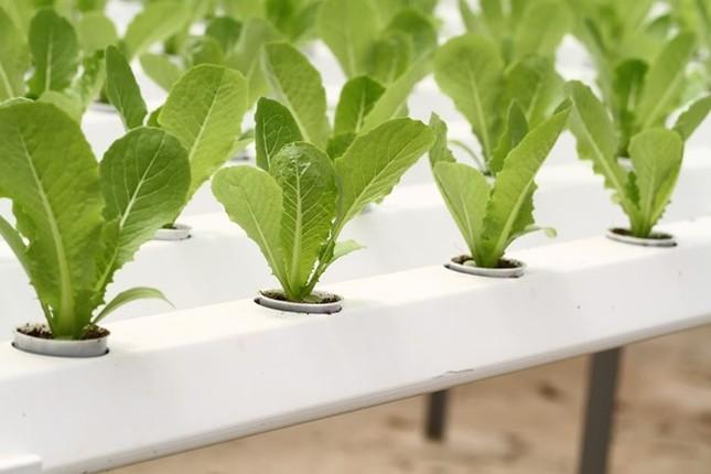 Rau thủy canh thu hoạch 15 vụ mỗi năm, ăn không cần rửa - ảnh 5