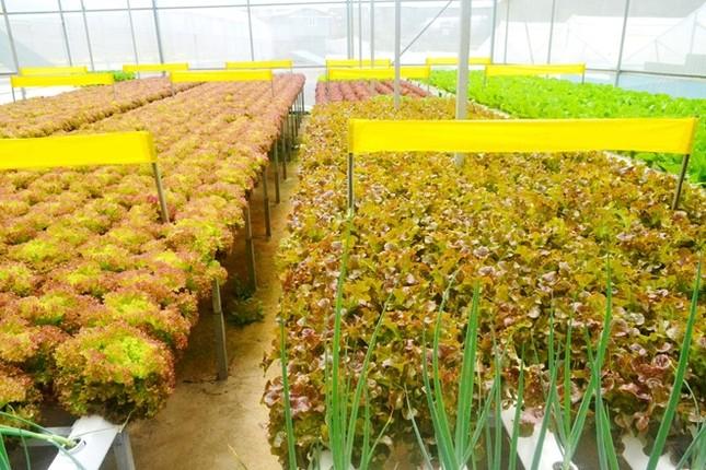 Rau thủy canh thu hoạch 15 vụ mỗi năm, ăn không cần rửa - ảnh 7