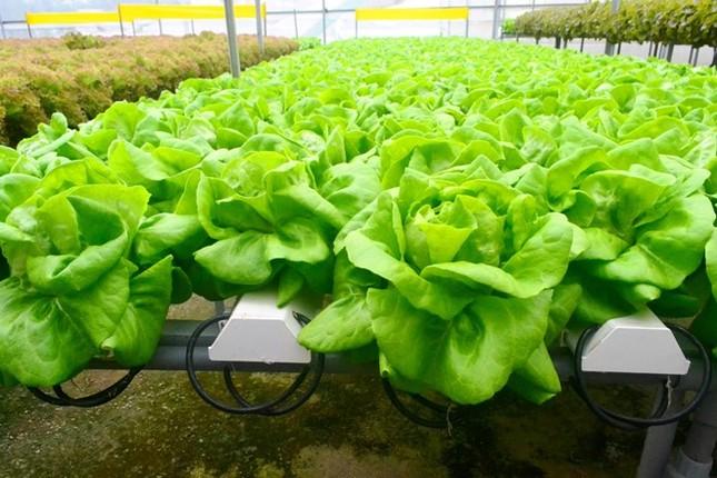 Rau thủy canh thu hoạch 15 vụ mỗi năm, ăn không cần rửa - ảnh 9