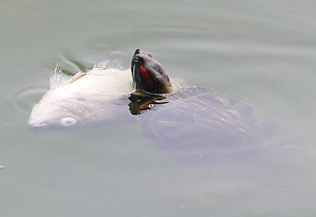Hồ Tây sau 10 ngày cá chết hàng loạt - ảnh 3