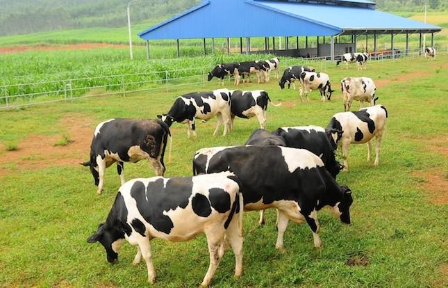 Đại gia ngành sữa với trang trại bò trải khắp Việt Nam - ảnh 1