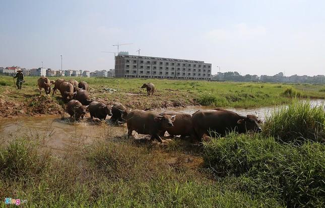 Đàn trâu nghỉ trưa trong khu biệt thự nghìn tỷ - ảnh 3