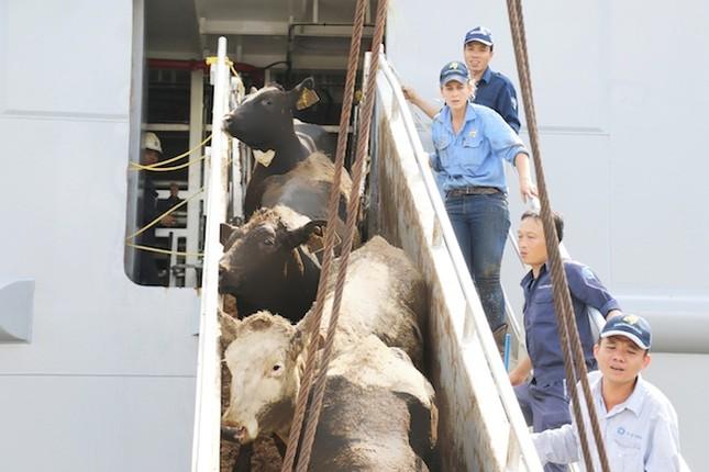 Vinamilk nhập hơn 2.000 con bò sữa cao sản từ Mỹ - ảnh 2